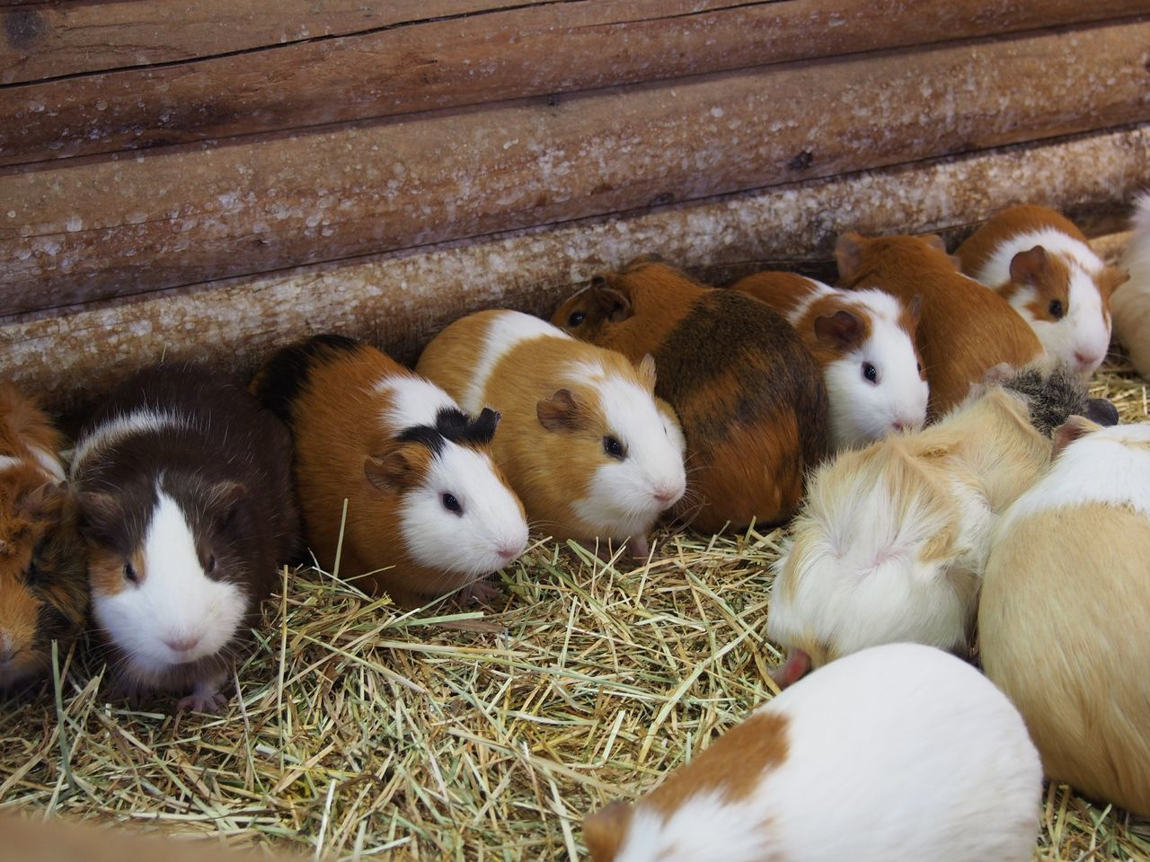 Beautiful stock photos of guinea-pigs, Animal Themes, Day, Domestic Animals, Field