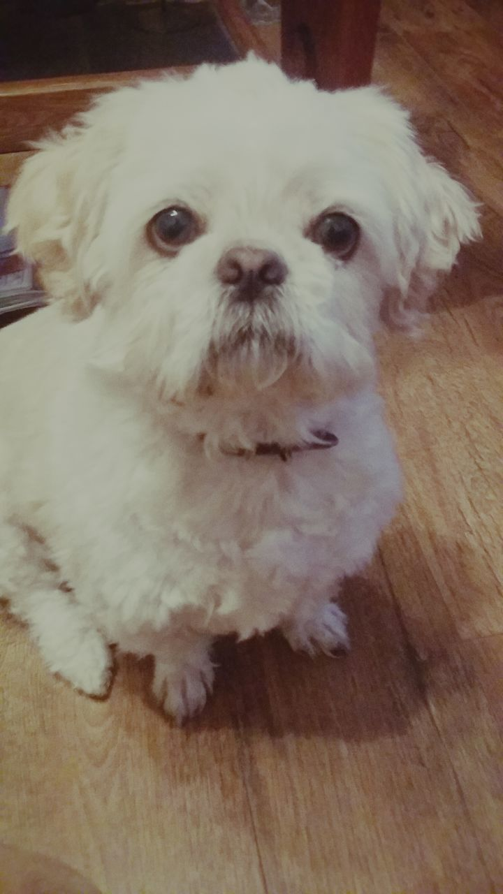 Portrait Of Dog On Floorboard