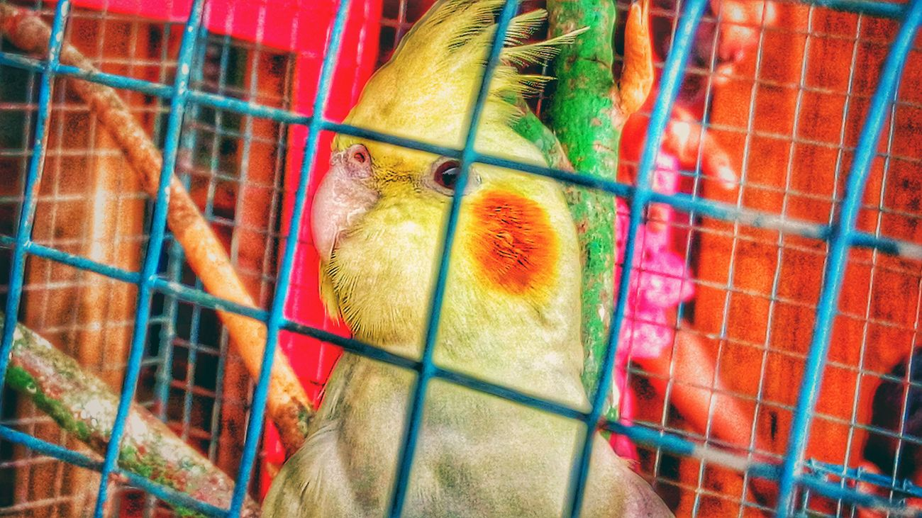 Parrot Pets Multi Colored Animal Themes Cage No People One Animal Bird Close-up Day Outdoors Mammal