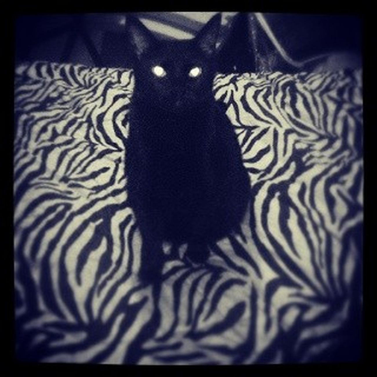 Gracejones Demoncat Ilovemycat Catstagram