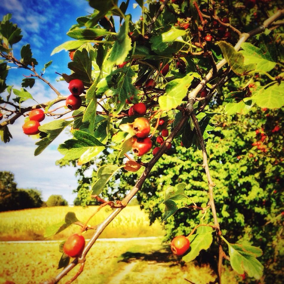 Fruit Growth Food And Drink Agriculture Freshness Healthy Eating Tree Food Farm Leaf Close-up Nature Outdoors Green Color Day Rural Scene No People Beauty In Nature Rose Hip Rose Hips