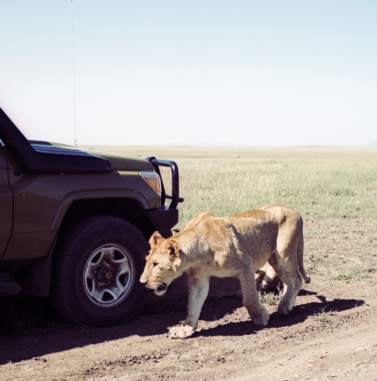 Beautiful stock photos of lion, Animals In The Wild, Car, Clear Sky, Color Image