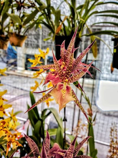Spider orchid Plant Flower Beauty In Nature Orchid Blossoms Close-up Leaf Flower Head Outdoors Other Varities Vibrant Color Hybrid Orchid , Flower Show , Floria Malaysia