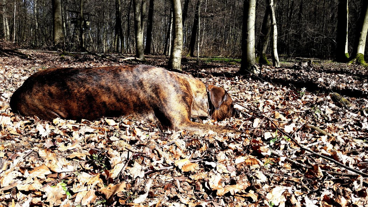 animal themes, one animal, leaf, autumn, lying down, day, nature, mammal, outdoors, no people, domestic animals, pets, relaxation, tree, beauty in nature