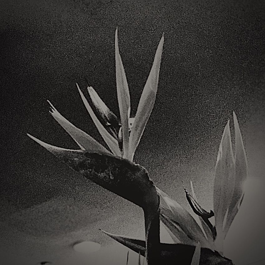 Black & White Bird Of Paradise - Plant Birdofparadise Flower Growth Plant Close-up No People Nature Aloe Fragility Outdoors Day