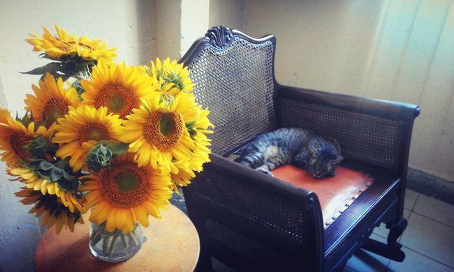 Arrangement Cat Domestic Room Flower Fragility Home Ismail Nap Nature Still Life Sunflowers Vase Yellow