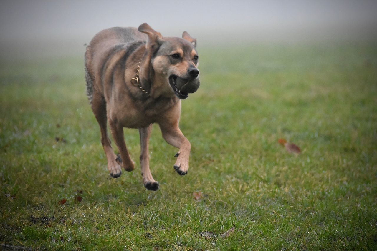 Running Dog Playtime Dog Dog Walking Action Shot  Actionphotography