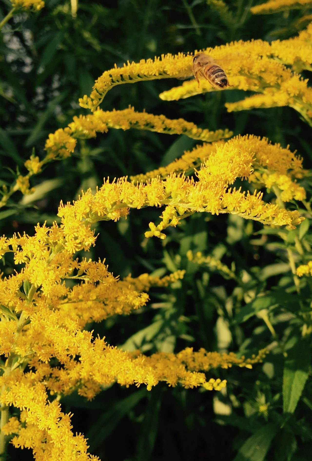 Color Palette Flower Collection Goldrute Golden Hour Gold Biene Bee Goldrausch Solidago Heilkräuter Goldenrod Medicinal Plant Medicinalherbs Blumen Im August