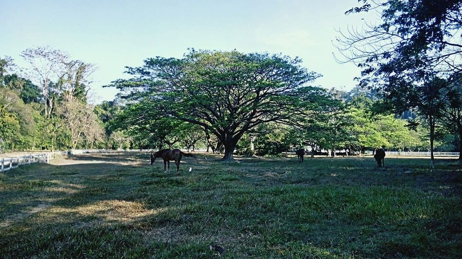 El Kabayo Stables Subic Tree Nature Domestic Animals Beauty In Nature Growth Outdoors Mammal Day Real People Men Sky People Adult Adults Only Subic First Eyeem Photo
