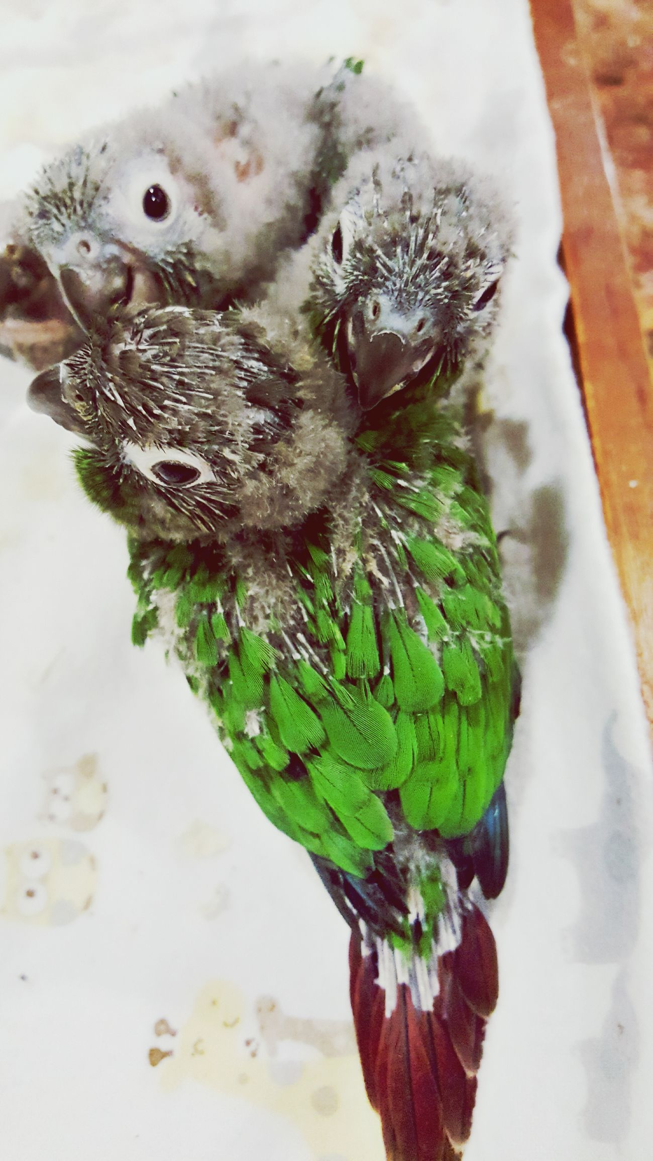Puffy with the rest of her siblings from the same clutch, Bree to the top right, Pretzel in the middle, and Dewey to the top left Check This Out Taking Photos Relaxing Enjoying Life Greencheekconure Cutepets Cute Baby Conure Birds_collection Bird Photography Birds Petlove  Pet Life  Pet Portrait Petlover Pet Love Pets Corner Pet Photography  Cute♡ Cuteness