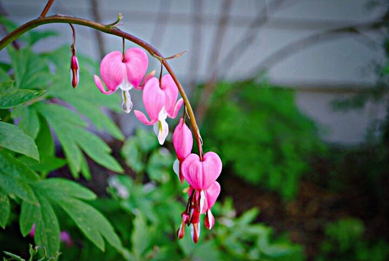 Bleeding hearts Pink Color Flower Growth Beauty In Nature Freshness Fragility Nature Focus On Foreground Plant Petal Close-up Leaf No People Blooming Outdoors Day Flower Head Horizontal Nature Bleeding Heart  Outdoor Photography Heart Followme EyeEm Nature Lover Eyemphotography