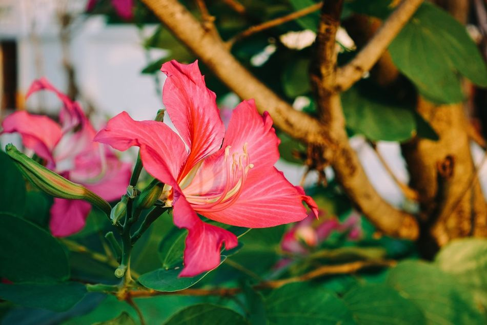 Snowly Orchid Tree Flower Nature Growth Plant Close-up Pink Color Beauty In Nature Flower Head Day Outdoors Bauhinia Acuminata Leguminosae Leaf No People