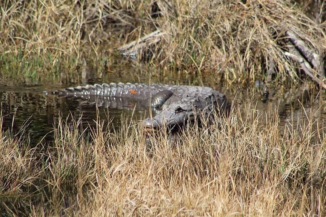 reptile, one animal, alligator, animals in the wild, crocodile, swamp, animal wildlife, animal themes, marsh, danger, outdoors, no people, day, river, nature, water, grass, animal scale, privacy, close-up
