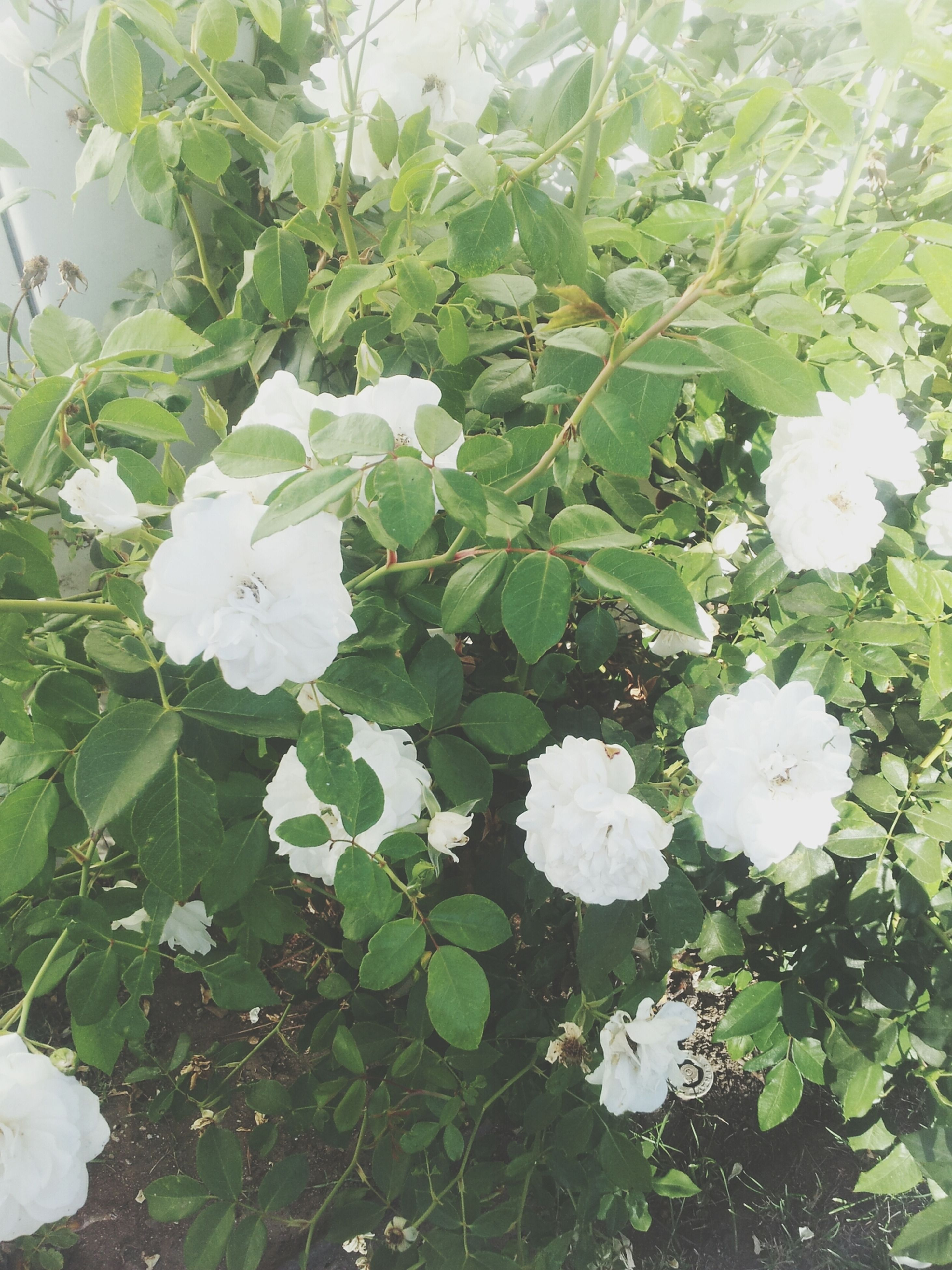 flower, white color, growth, freshness, leaf, fragility, plant, beauty in nature, nature, petal, green color, blooming, flower head, high angle view, white, close-up, in bloom, day, outdoors, blossom