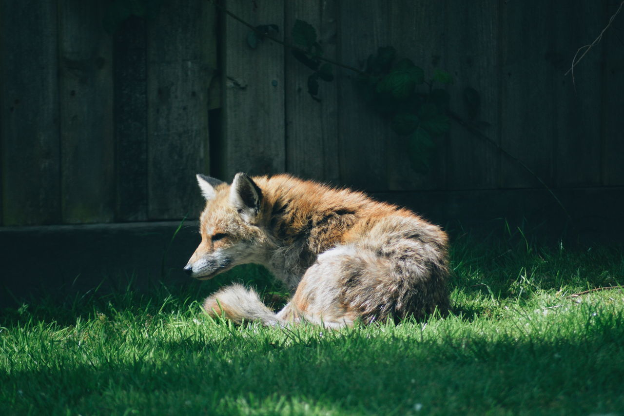 Animal Themes Animal Wildlife Animals In The Wild Day Fox Full Length Garden Grass Mammal Nature No People One Animal Outdoors Relaxation Wild Animal