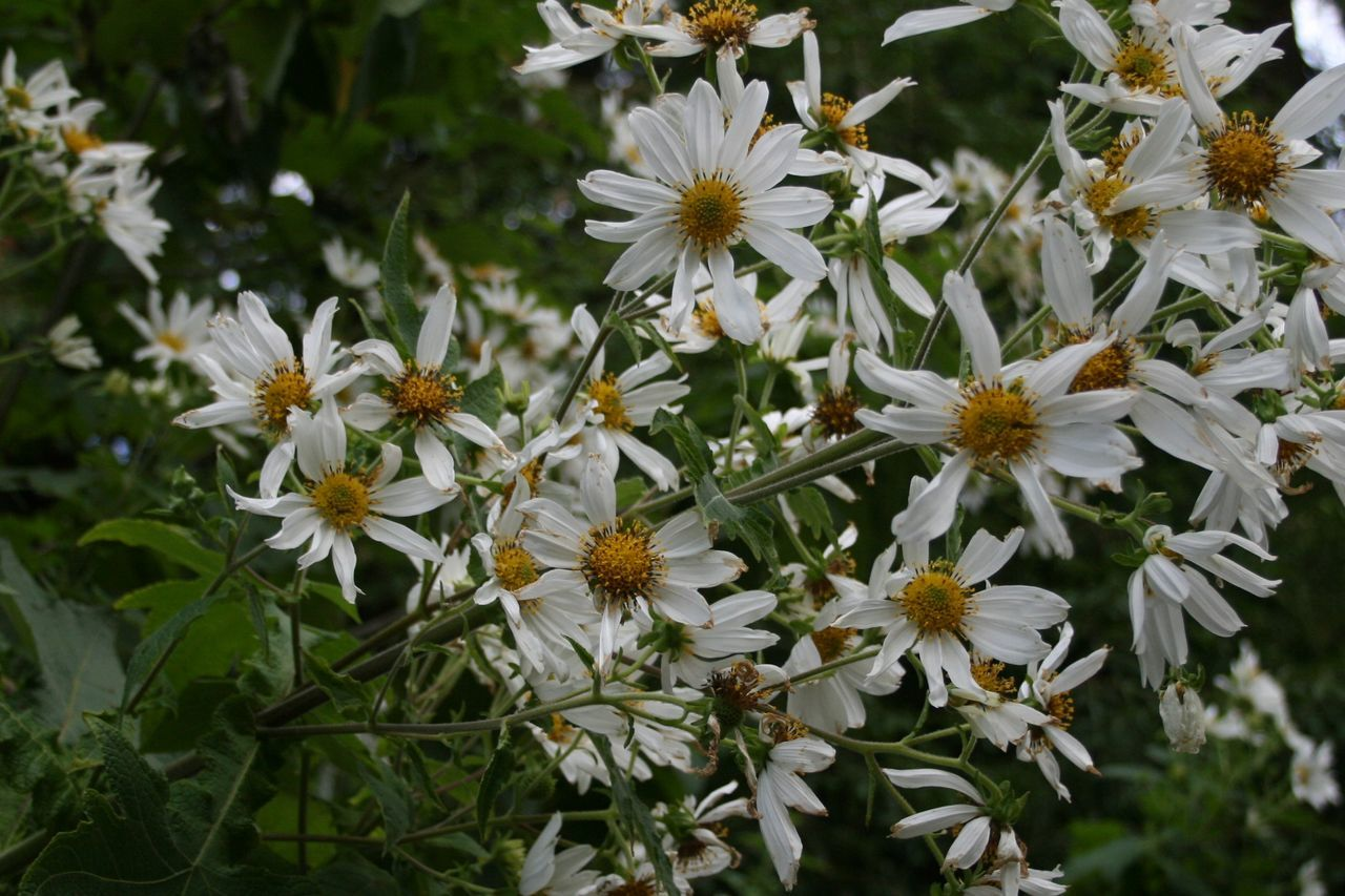 Beauty In Nature Blooming Close-up Daisy Flower Flower Flower Head Fragility Freshness Nature Outdoors Petal White Color