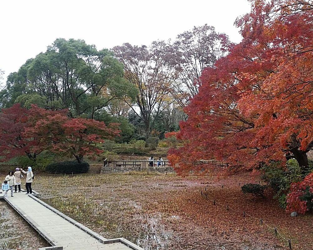 Showa Kinen Park Showa Kinen Park Nature Japan Japannov2016 Japanautumn2016 Japanstreetphotography Streetphotography The Colours Of Nature The Colours Of Autumn Maple Trees