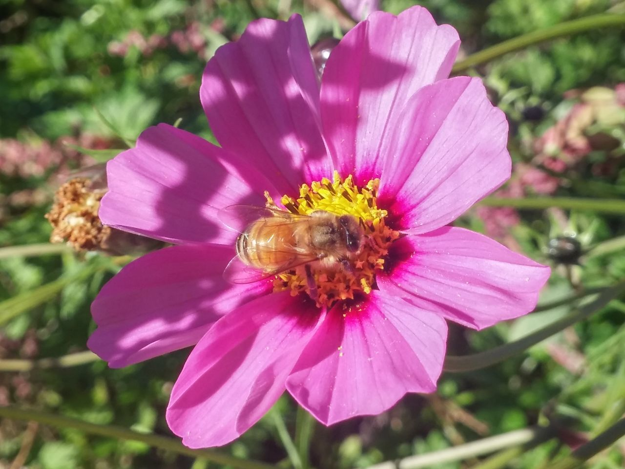 This is not a snail😆😂😂 Flower Pink Color Petal Fragility Nature Insect Flower Head Plant Pollen Freshness Day Outdoors Beauty In Nature Focus On Foreground Close-up Growth Bee 🐝dance Of The Bee🐝 Pollination Autumn In New Zealand Cosmos One Insect Cosmos In My Garden 5 Shadows & Lights