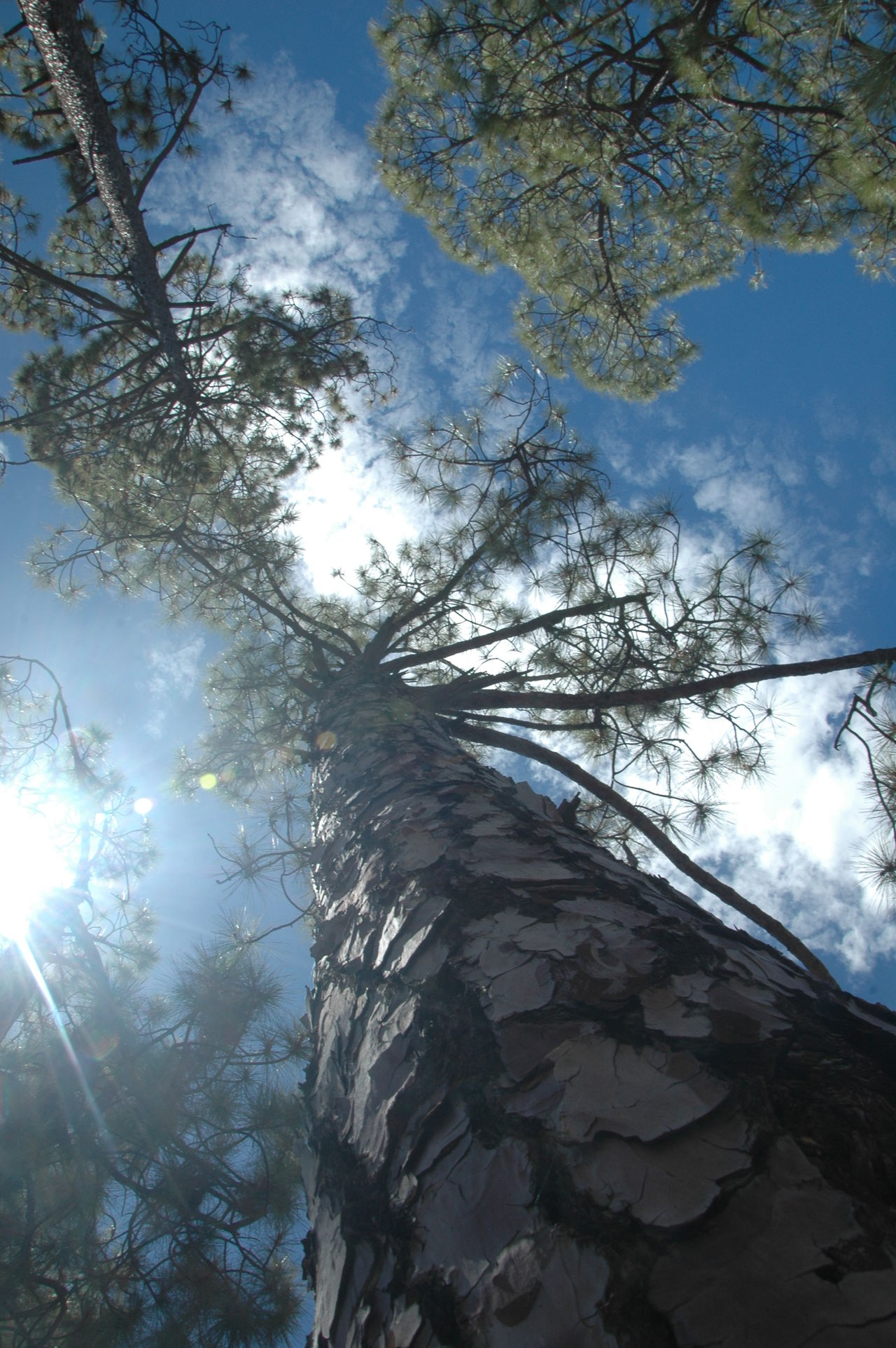 Beauty In Nature Blue Branch Canarias Canary Canary Islands Cho Tenerife Day Growth Low Angle View Mountain Nature Nature No People Outdoors Parque Nacional Del Teide Sky Sunbeam Sunlight Teide Teide Volcano Tenerife Tranquility Tree Vulcan