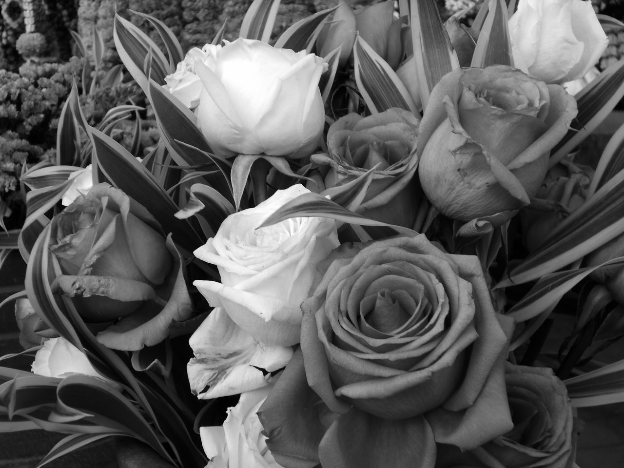 Beauty In Nature Black And White Photography Bouquet Close-up Day Flower Flower Head Freshness Outdoors Roses Flowers