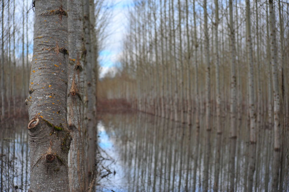 Bare Tree Beauty In Nature Branch Close-up Cottonwood Trees Day Forest Nature No People Outdoors Scenics Sky Tranquil Scene Tranquility Tree Tree Farm Tree Trunk Water If Trees Could Speak