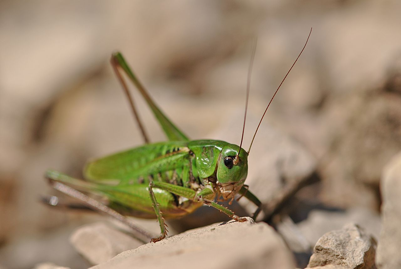 Animal Animal Themes Animals In The Wild Close-up Day Grasshopper Green Insect Nature No People Outdoors Rock Background Stones