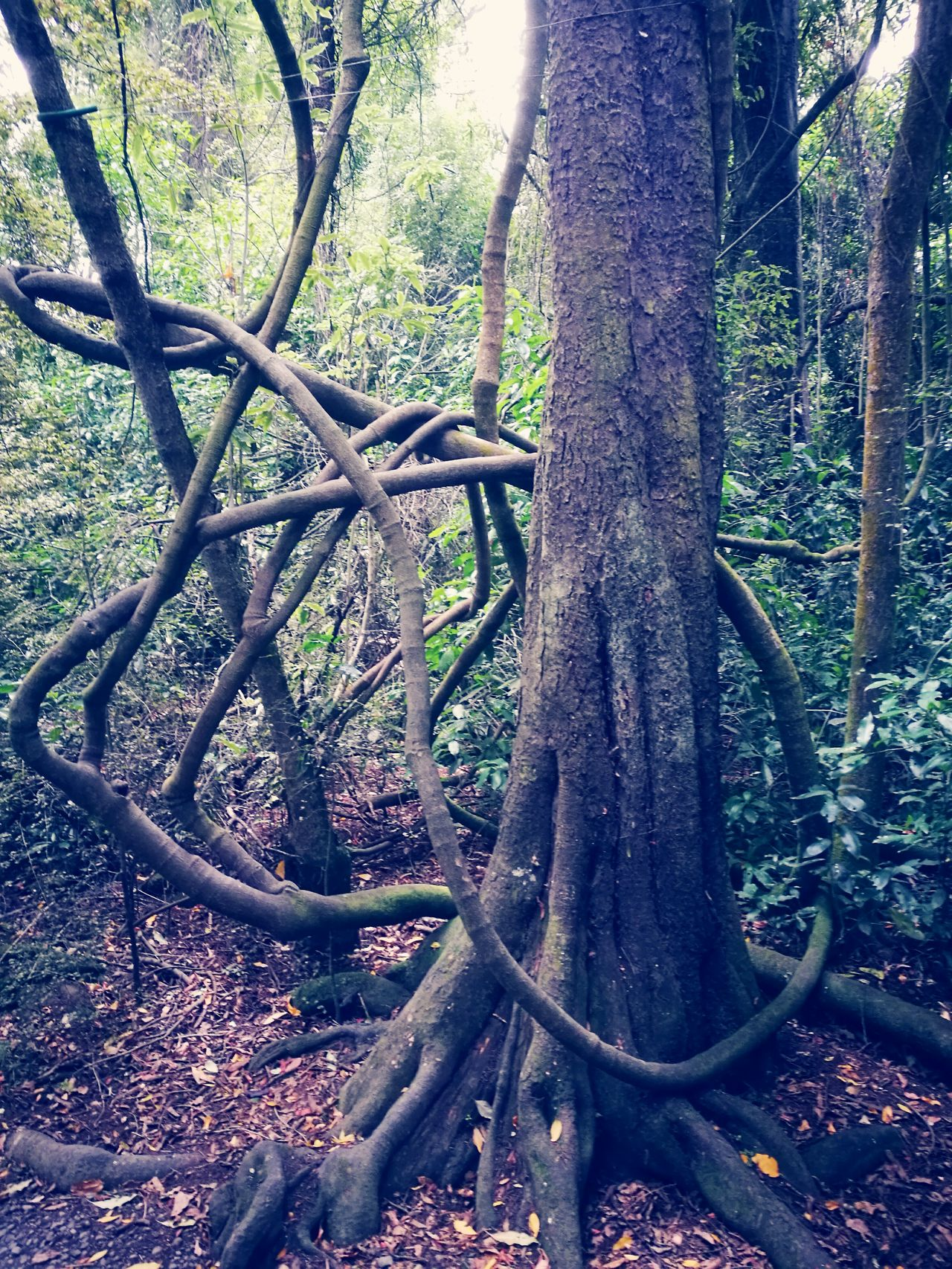 Tree Tree Trunk Nature Growth Forest Outdoors Tranquility No People Day Beauty In Nature Branch Twisted Tree Plants 🌱