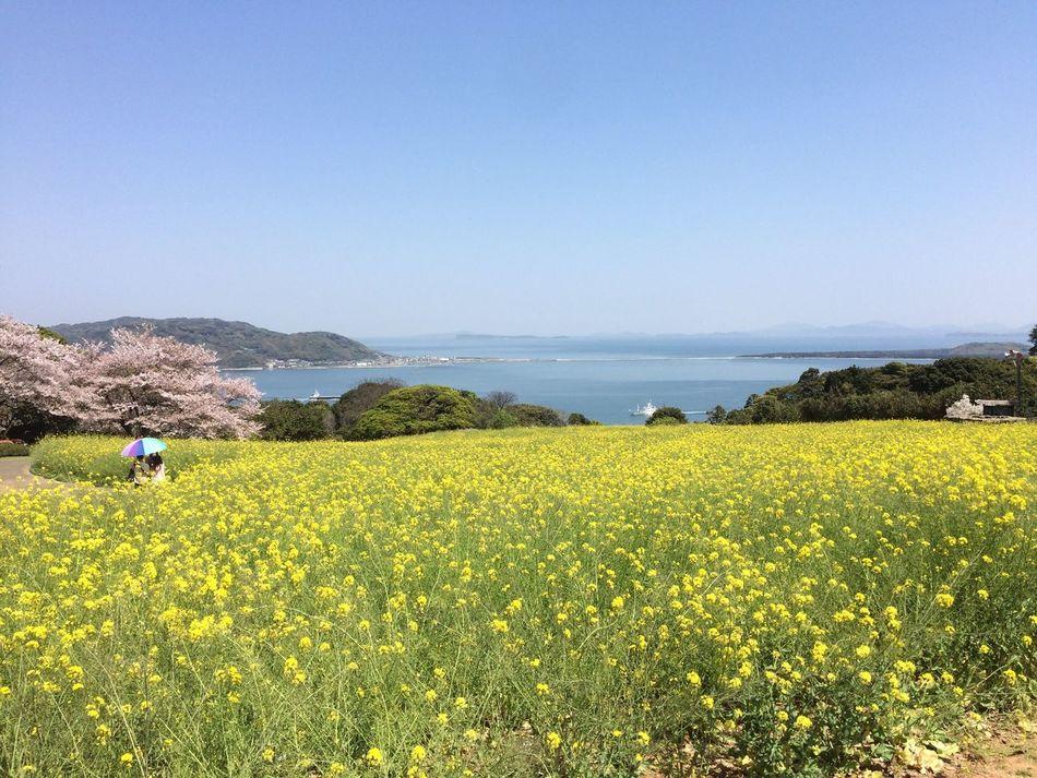 今年も綺麗な風景をありがとう😊 菜の花 桜 能古島