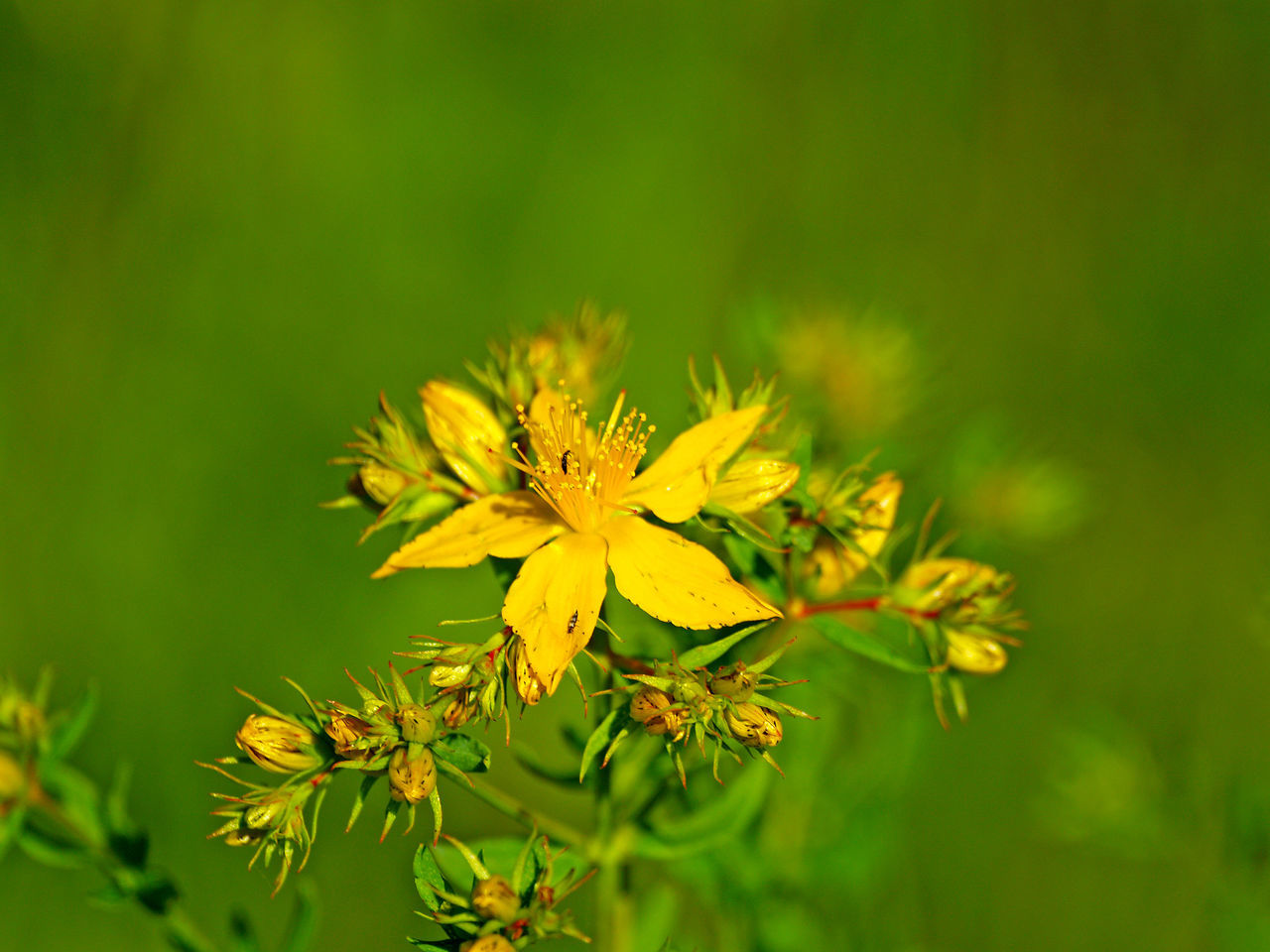 Beauty In Nature Close-up Day Environment Flower Flower Head Flowers Fragility Freshness Green Color Growth Health Homeopathy Hypericum Hypericum Perforatum Medicinal Plant Medicine Nature No People Outdoors Petal Plant Wildflowers Wildlife Yellow
