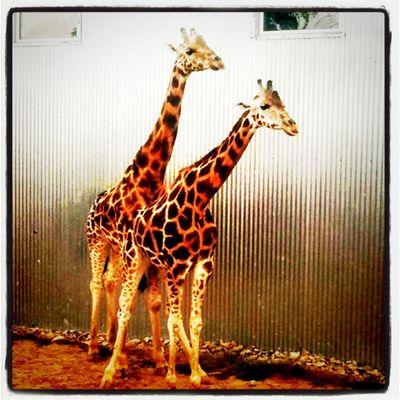 Giraffe style! Privacy please! Animal Love Safari Park Quebec Giraffe Mating Parcsafari Hemingford