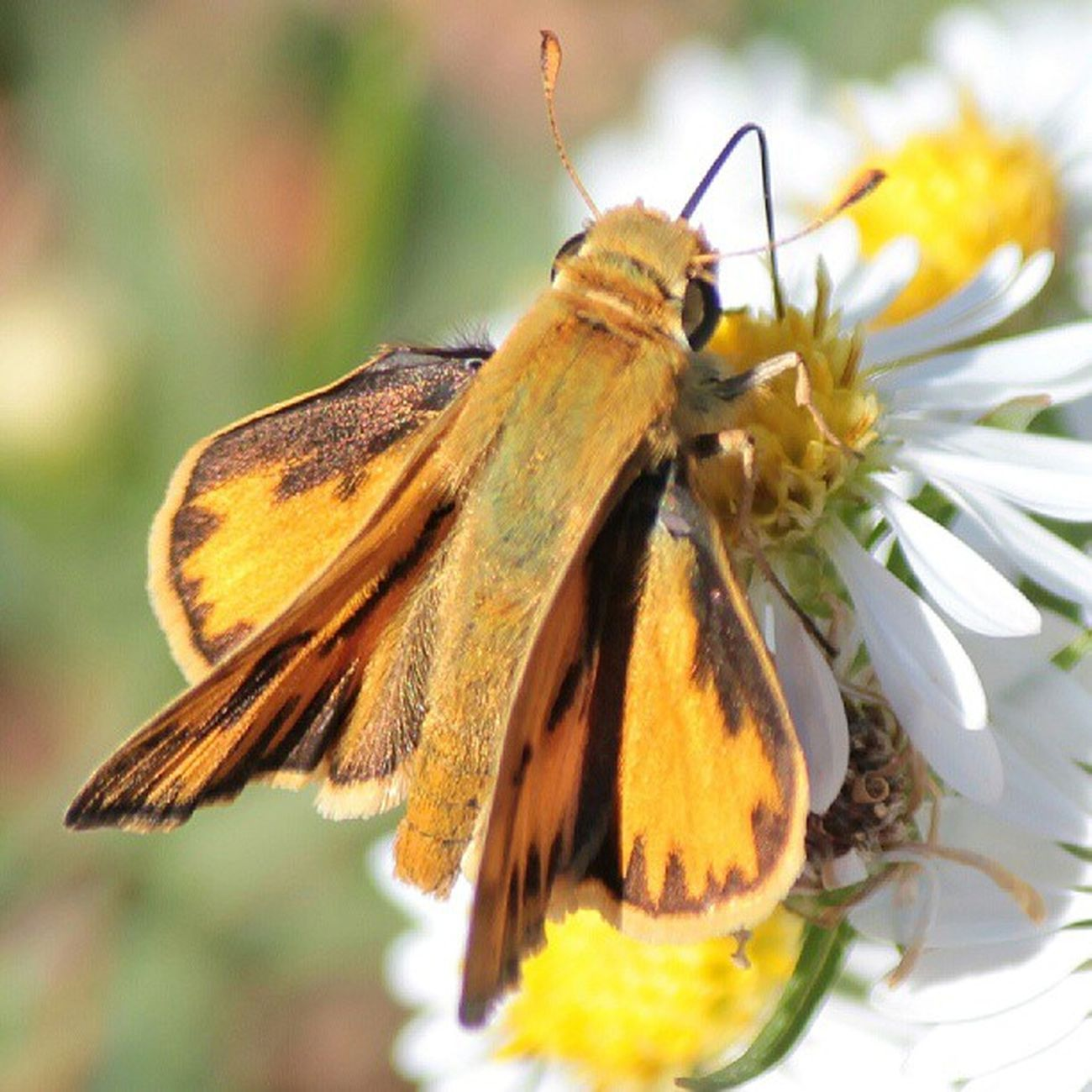 Skipper Insect_perfection Instanaturefriends Nature_perfection Underdogs_nature md_macro macro wildlife_perfection