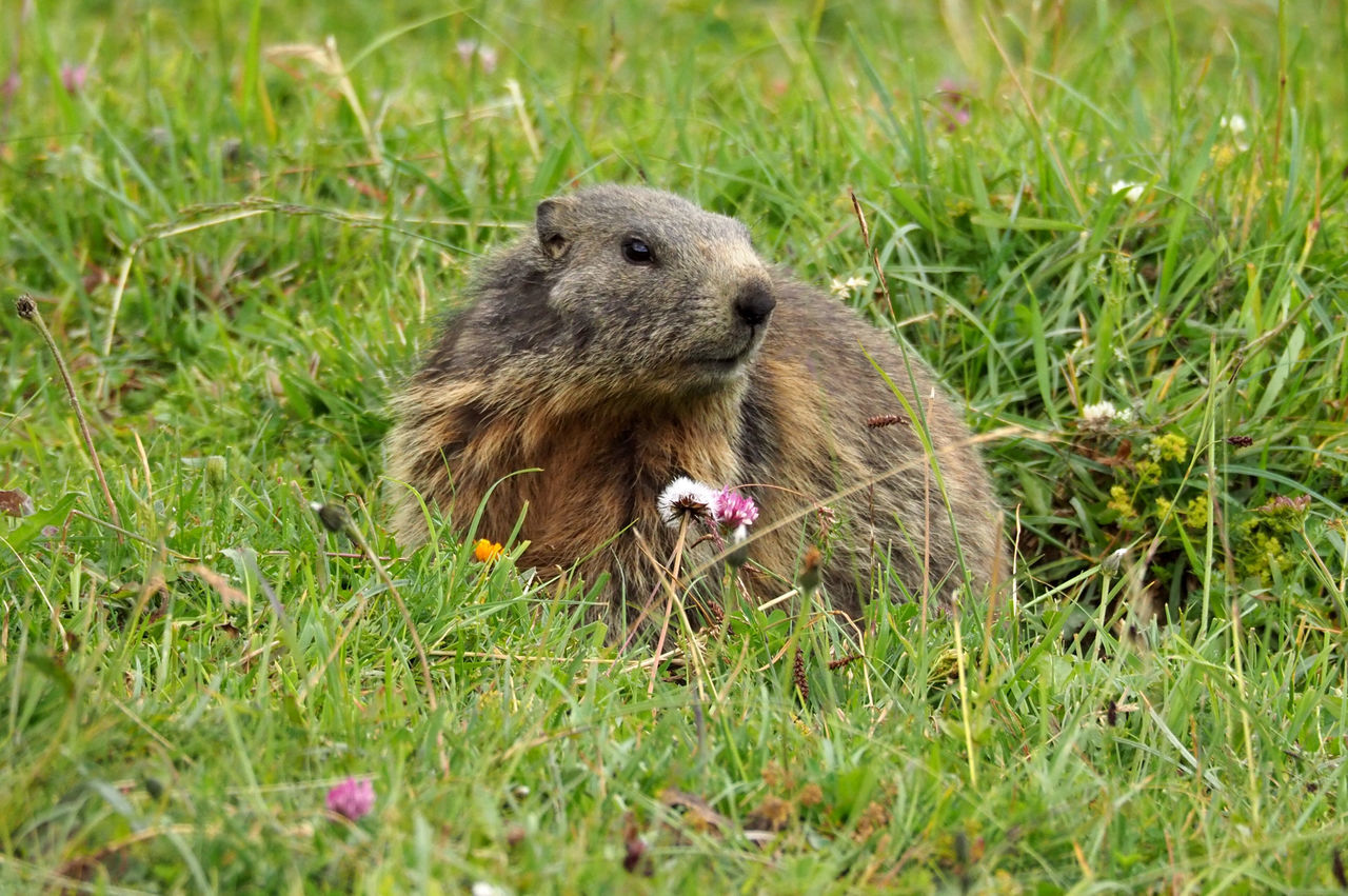 Groundhog Day! Alpine Fauna Animal Themes Animals In The Wild Animals In The Wild Fauna Field Grass Groundhog Day Liechtenstein Liechtensteiner Bergwelt Life Malbun Mammal Marmota Marmotte Murmeltier Nature No People One Animal Outdoors Rodent Summer Travel Destination Triesenberg Wildlife