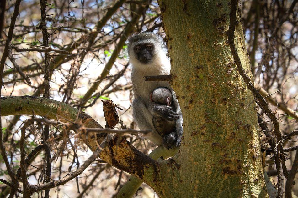 Animals In The Wild Monkey Safari Afrika Africa Tanzania Affe Tansania Vervet Monkey Südliche Grünmeerkatze Grünmeerkatze Chlorocebus Pygerythrus FUJIFILM X-T1 Animal Wildlife Lake Manyara Affen EyeEmNewHere