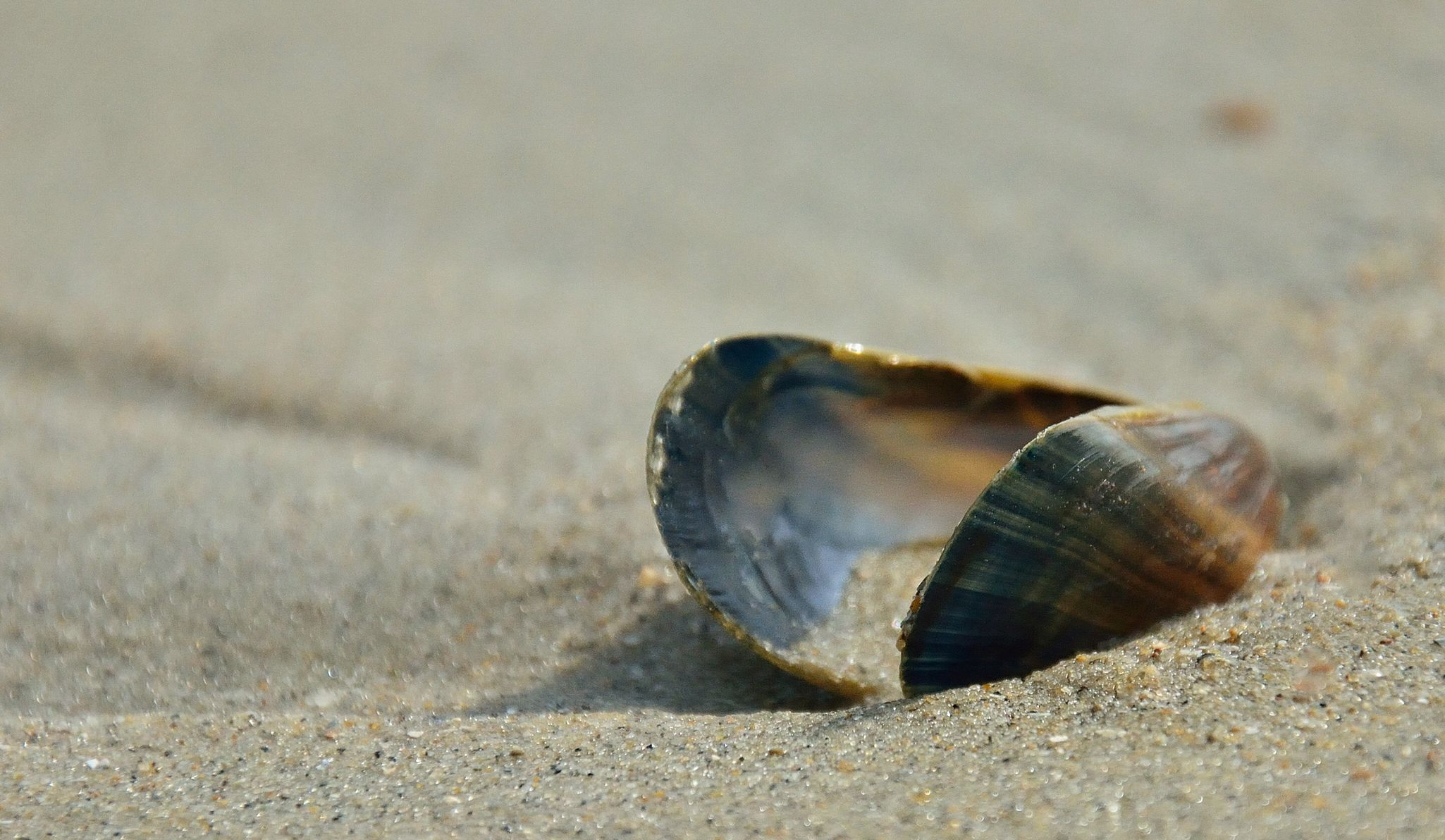 Mosselschelp Cadzand Zeeland Holland Animal Themes Sand One Animal Animals In The Wild Nature Wildlife Beach Close-up Day No People Outdoors Fragility Beauty In Nature Sea Life Holland Clam Clamshell Shell Simple Photography Pure Nature Bokeh Photography Zeeland