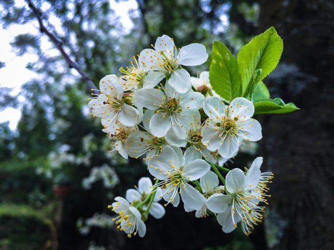 Ciliegioinfiore Spring EyeEm Gallery EyeEm Best Shots EyeEm Nature Lover Primavera Nature Flower Collection Macro Beauty IPhoneography
