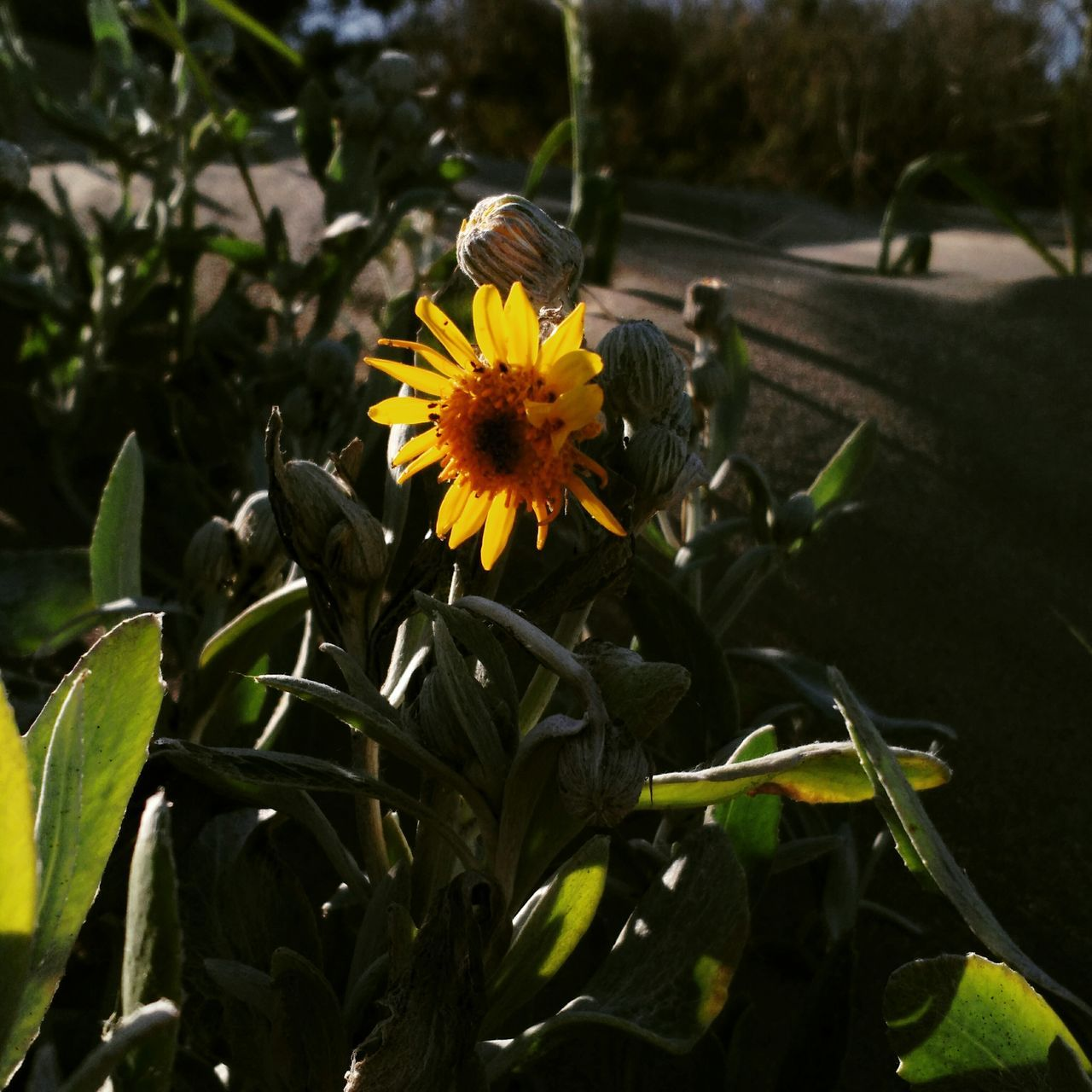 Flower Nature Yellow Beauty In Nature Flower Head Growth Petal Leaf Outdoors Close-up No People Plant Freshness Seaside Exploring Sunset Shadows&lights buenos aires