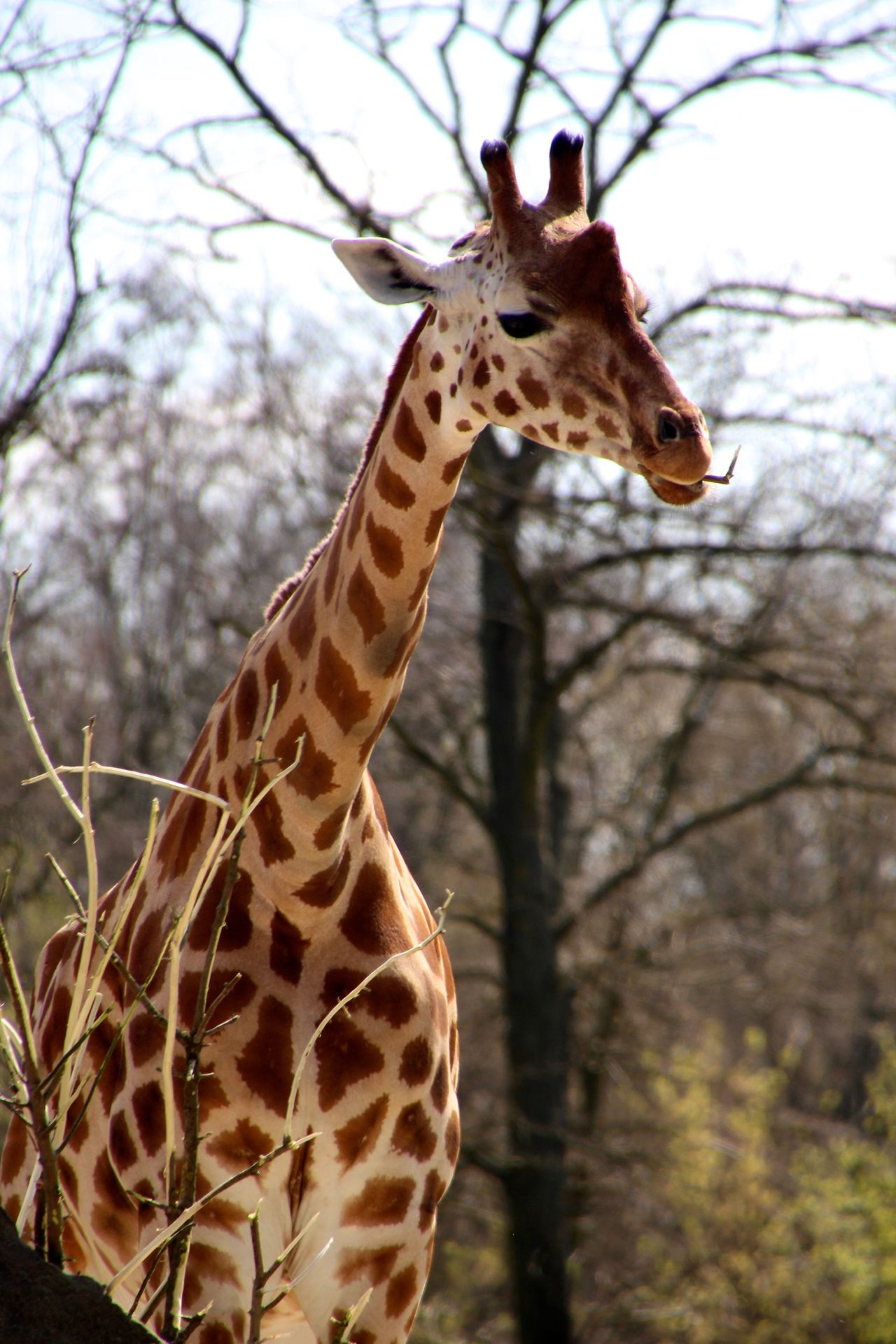 Beautiful stock photos of giraffe, Animal Markings, Animal Themes, Animals In The Wild, Bare Tree
