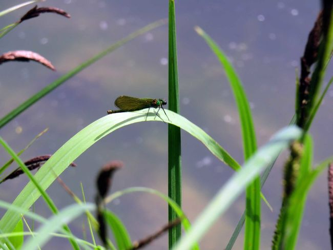 Green Arrow Dragonfly On Blade Of Grass Libélula Flecha Sobre Brizna De Hierba Nature's Diversities 2016 EyeEm Awards