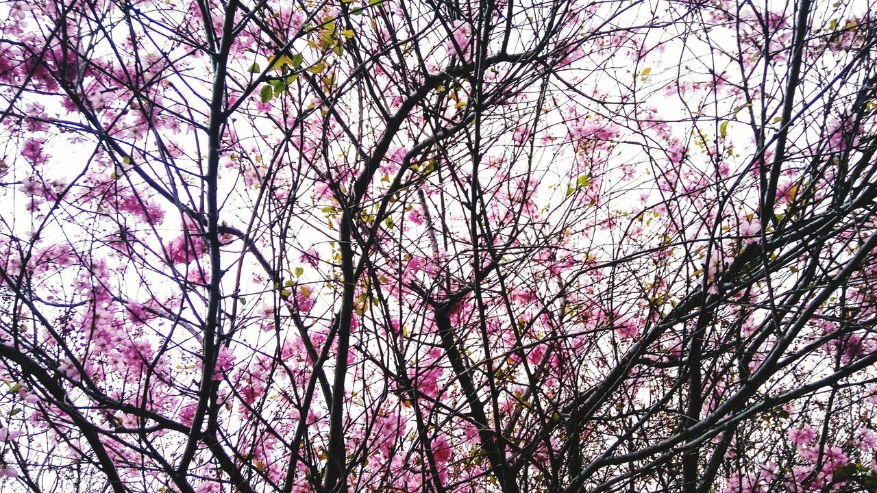 branch, tree, beauty in nature, low angle view, nature, no people, outdoors, flower, springtime, day, growth, pink color, backgrounds, fragility, full frame, scenics, freshness, sky, close-up