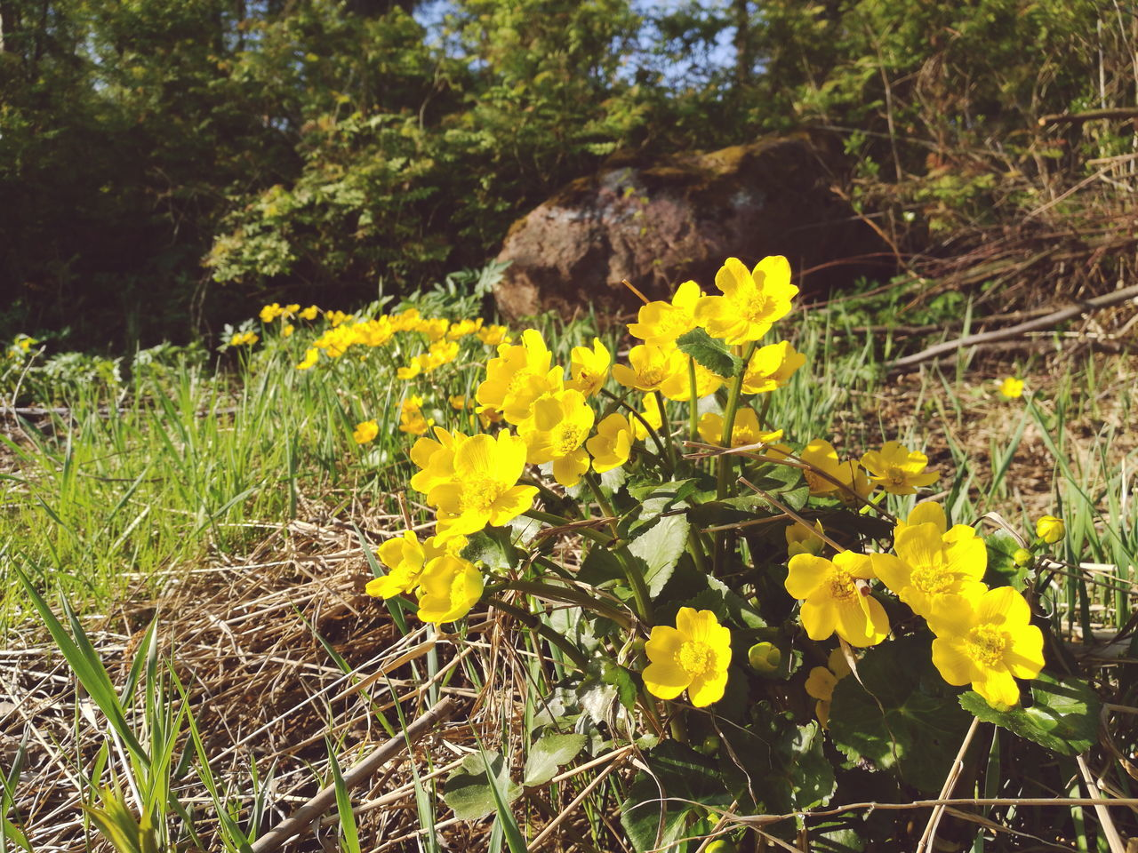 Marsh Marigold Kingcup Caltha Palustris Nature Photography Mobile Photography HuaweiP9 Huawei The Great Outdoors - 2016 EyeEm Awards Wildflowers VSCO Vscogood Natures Diversities