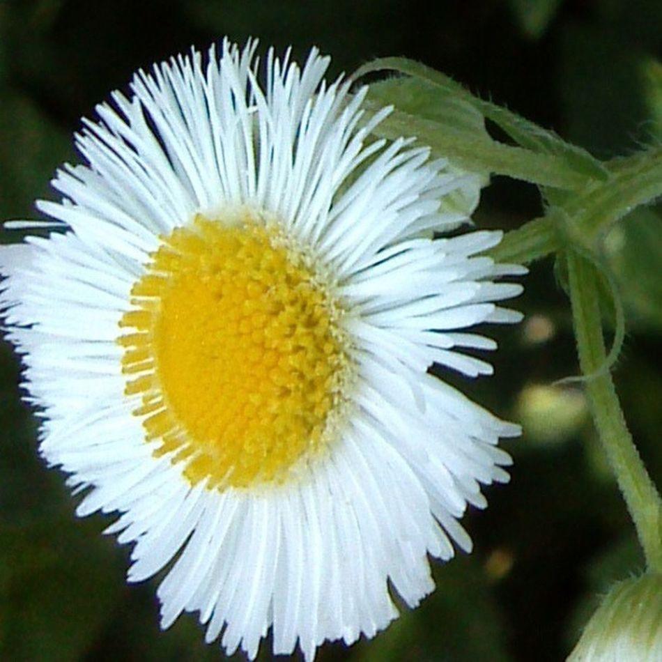 Macro Flower Cellulartelephonecamera
