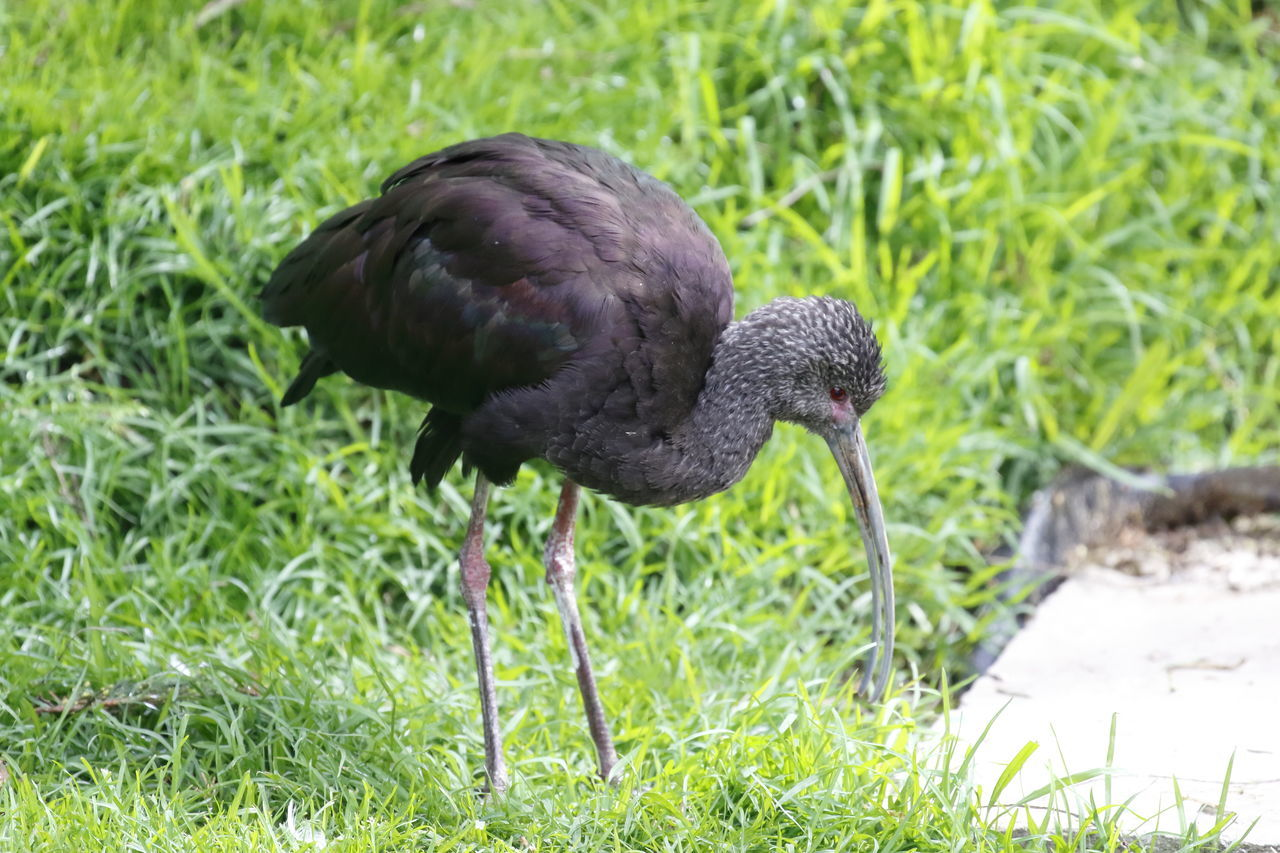 bird, animal themes, one animal, grass, animals in the wild, nature, no people, outdoors, black color, day, animal wildlife, water, black swan, close-up