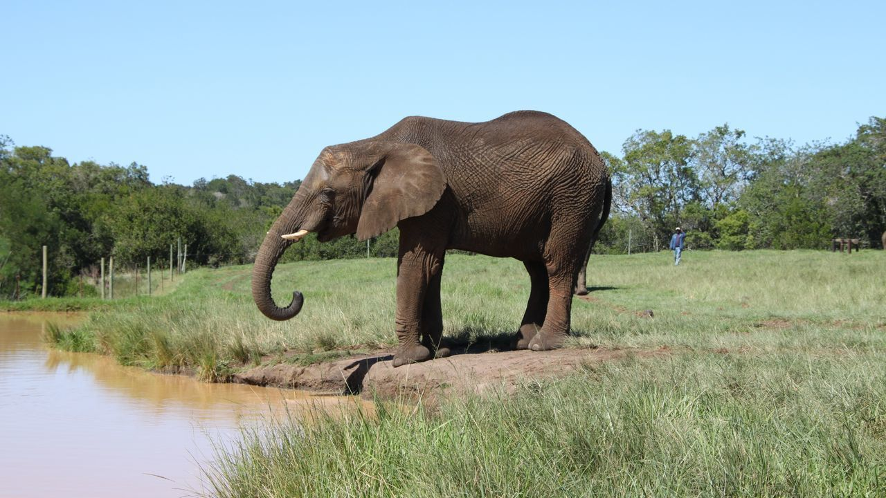 Beautiful stock photos of elephant, Animal Themes, Day, Elephant, Grass