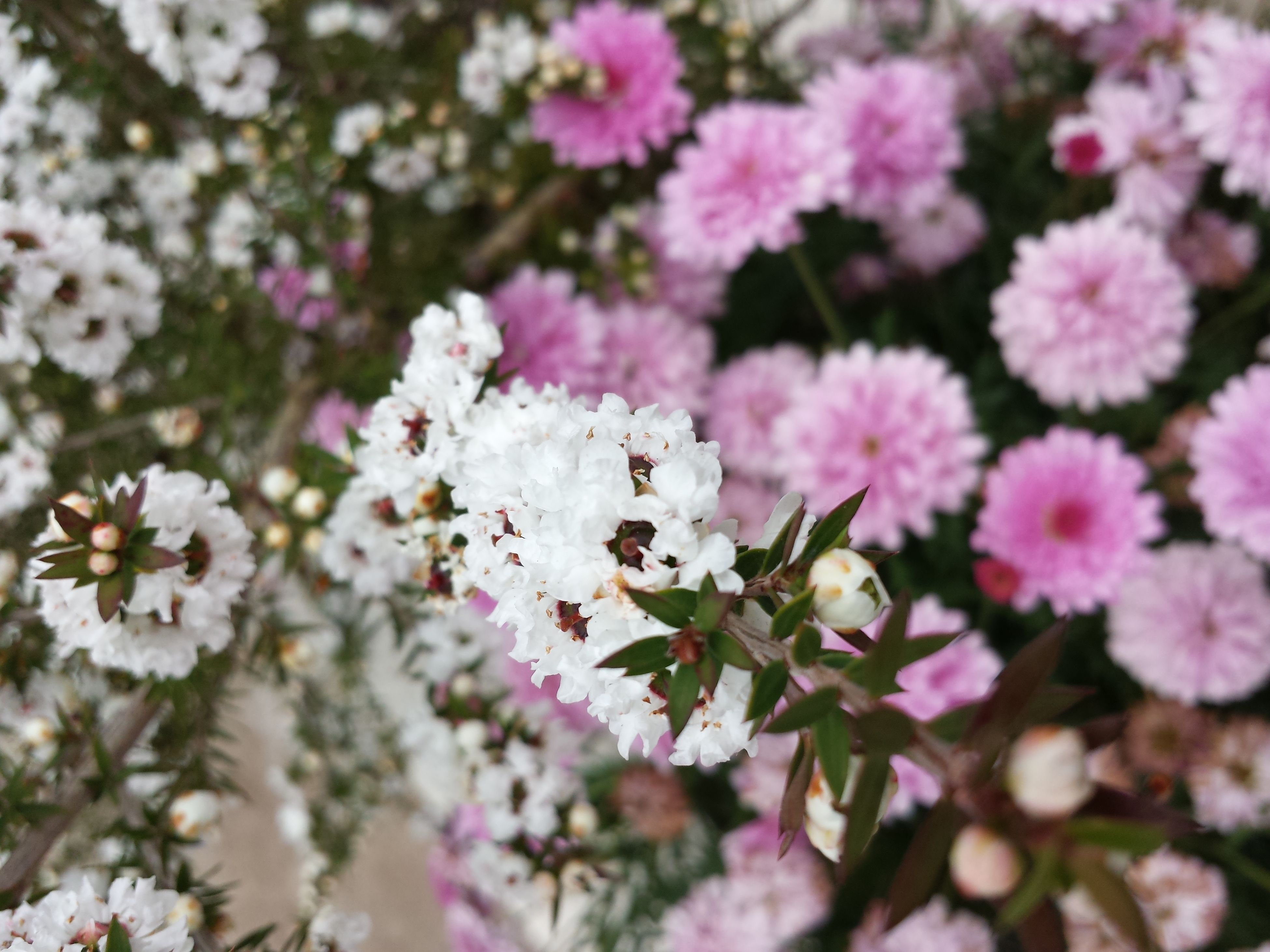flower, freshness, fragility, growth, petal, beauty in nature, pink color, nature, blooming, flower head, focus on foreground, close-up, in bloom, plant, blossom, park - man made space, outdoors, selective focus, day, white color