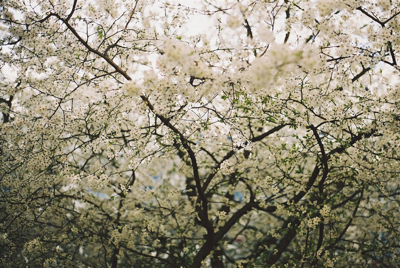 Beautiful stock photos of white, Apple Blossom, Apple Tree, Backgrounds, Beauty In Nature