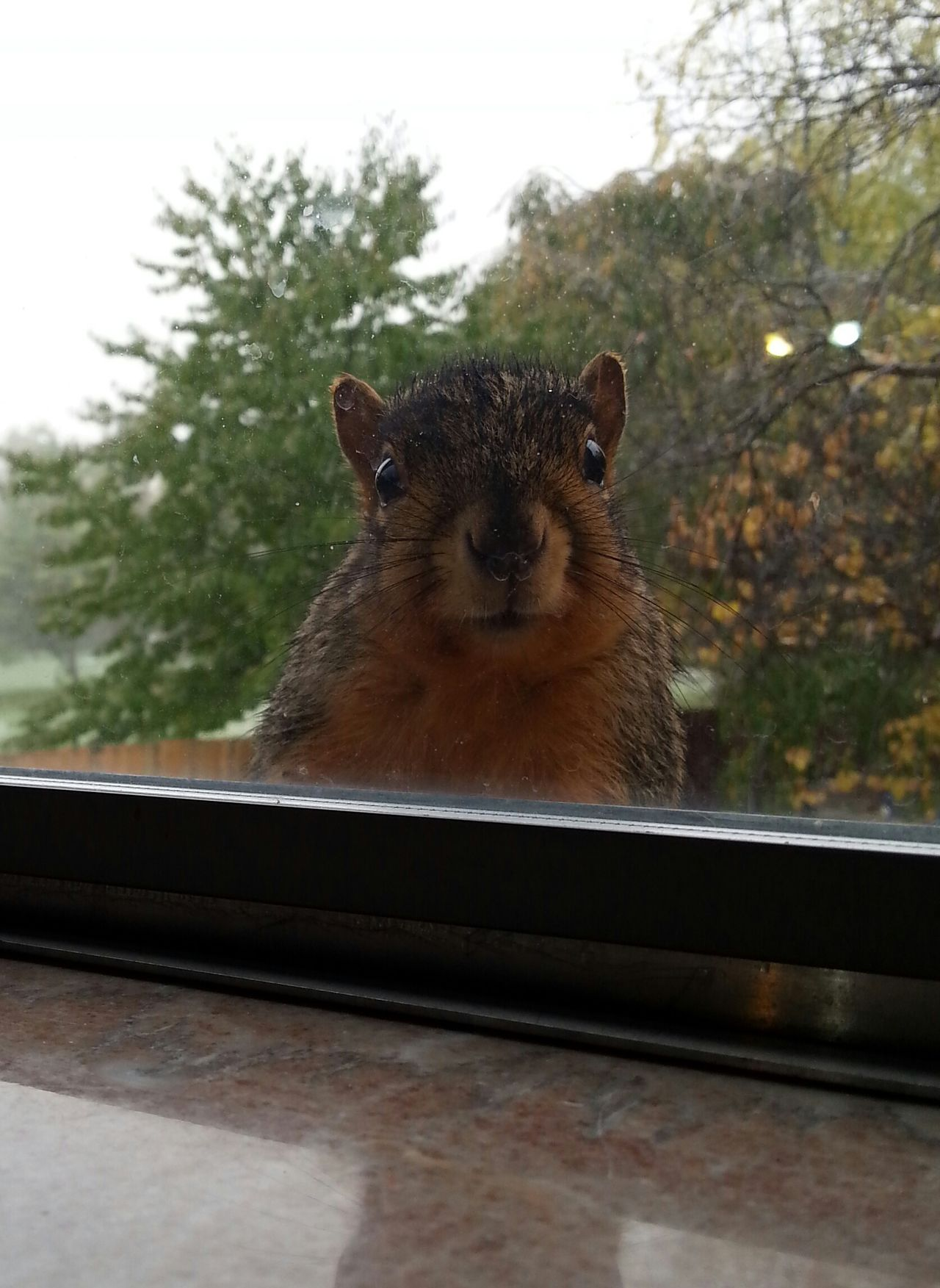 Squirrel Window Peeking Rain Snow Fall Season Trees Sky Leaves