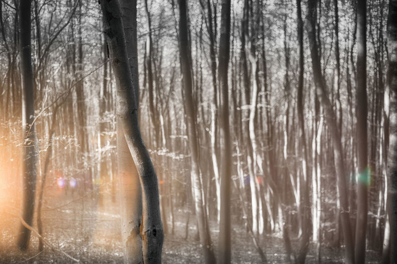 Birch forest experimentally Experimental Lights Sunrays Wood Abstract Art Atmospherically Birch Forest Birches Coloured Lights Forest Lateral Light Lens Flares Monochrome Nature Nobody Outdoors Scenery Short Depth Of Field Tranquility Tree Tree Trunk Trunks Unreal Unsubstantial