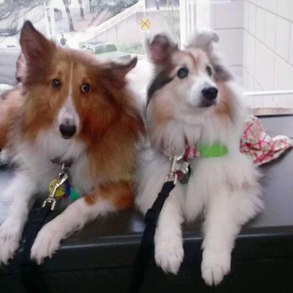 Therpy Dogs used at Methodist Hospital Health Therapydogs Lovable Pets Service Dog Helps Aide Disabled Therapy Pets Border Collies Making A Difference  Modern Medicine💖