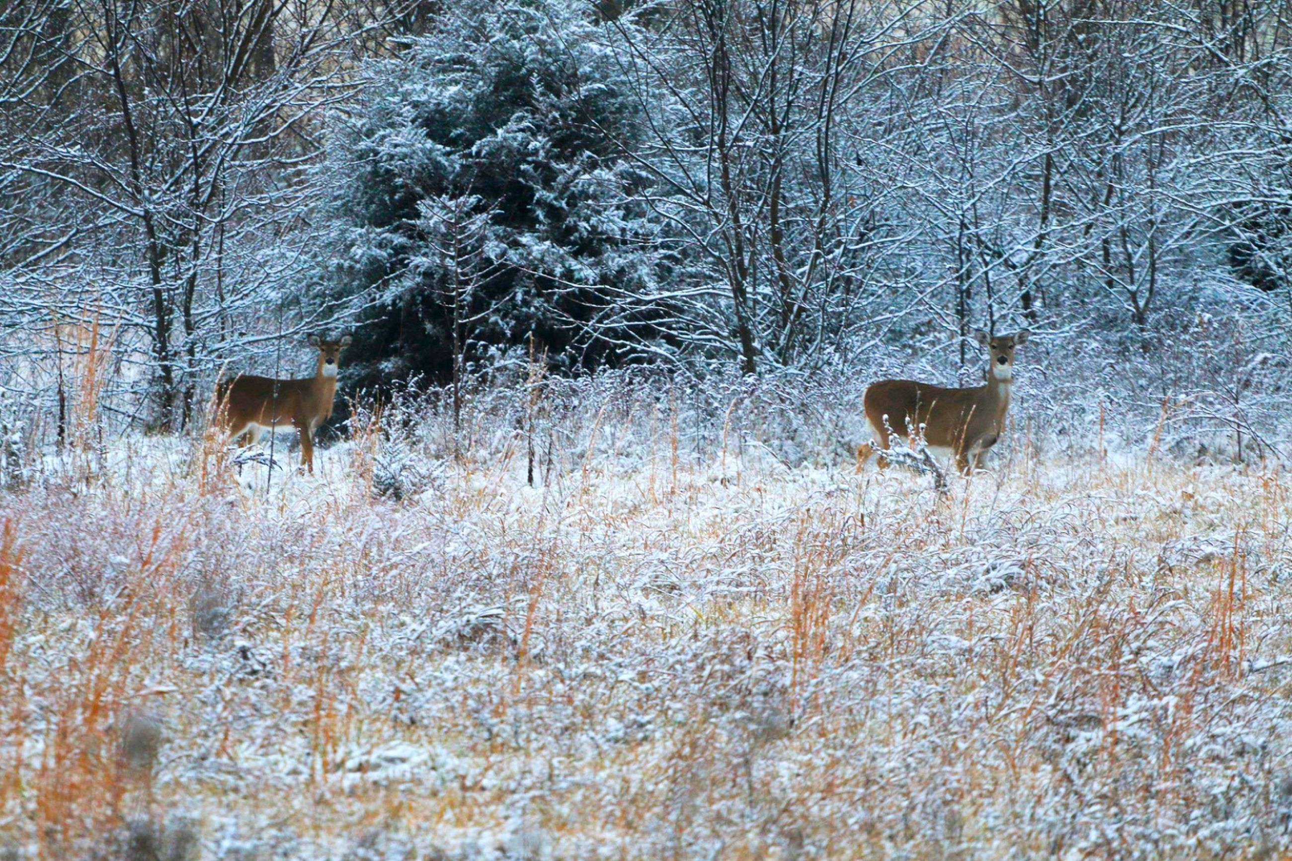 animal themes, winter, one animal, bare tree, snow, nature, cold temperature, mammal, animals in the wild, deer, field, animal wildlife, no people, outdoors, day, tree, stag, grass, domestic animals, beauty in nature
