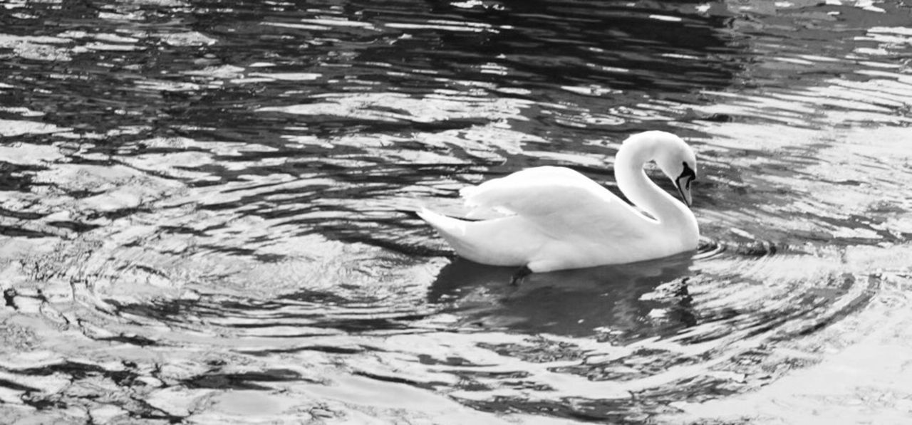animal themes, animals in the wild, swimming, water, bird, lake, rippled, one animal, swan, nature, water bird, waterfront, no people, day, floating on water, beak, outdoors, close-up